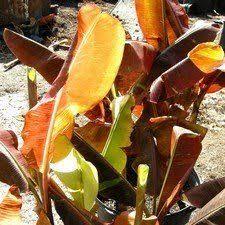 carolina king banana tree banana trees free banana tree