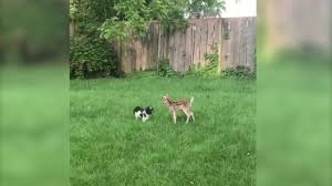 dog and baby deer play together in the backyard youtube