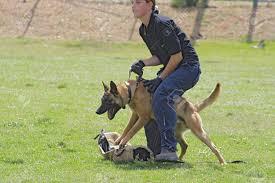 belgian malinois dog dog training belgian malinois in the attack stock photo