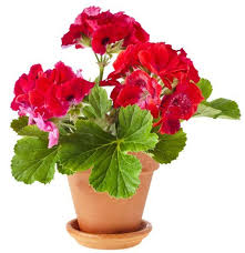 add some color 5 cheery easy to grow indoor flowering plants