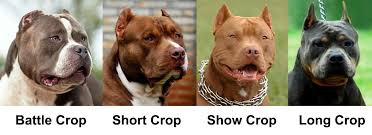 american pitbull terrier 10 months ear cropping essential tips for puppy owners
