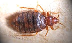 What Do A Bed Bug Look Like What Do Bed Bug Bites Look Like And How To Treat