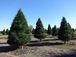 file hambrick u0027s christmas tree farm short needle pine christmas