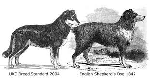 australian shepherd history english shepherds are not descended from scotch collies