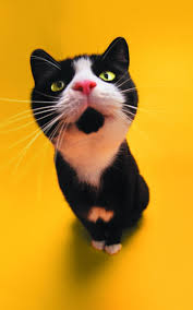 Cute Black And White Wallpapers by 800x1280 Cute Black And White Cat Nexus 7 Wallpaper