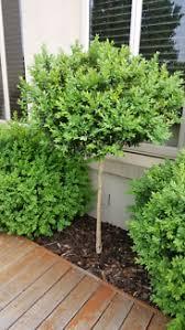 English Box Topiary - topiary buxus large plants gumtree australia knox area