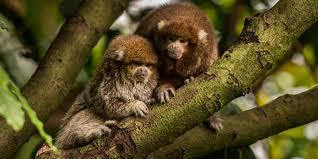 titi monkey smithsonian u0027s national zoo