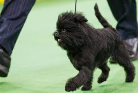 affenpinscher dog names why the dog show winner looks like a monkey