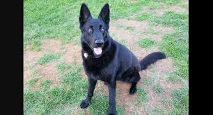 belgian shepherd rescue facebook dona is a beautiful gsd available for adoption who just wants to