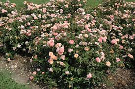 drift roses apricot drift rosa meimirrote in milwaukee brookfield