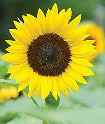 sunflower pictures sunflower jua hybrid burpee