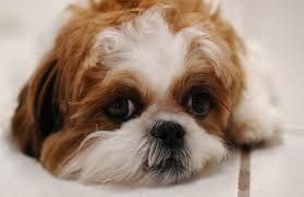cost of a bichon frise all about shih tzu grooming and costs petcarepricing com