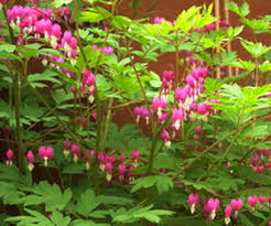 bleeding heart flower bleeding heart plant animal adaptations
