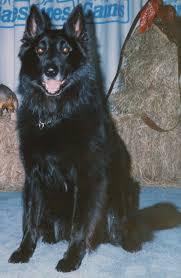 belgian sheepdog for adoption 1983 north las vegas nv belgian sheepdog club of america