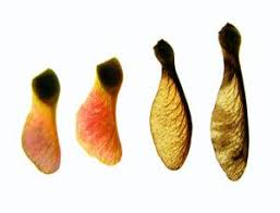 spinning seeds inspire single bladed helicopters new scientist