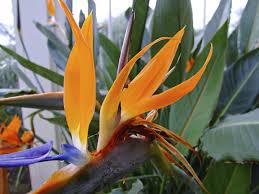 how to grow bird of paradise indoors