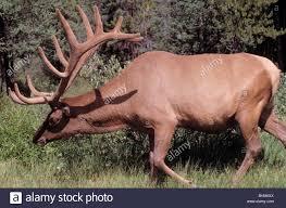 bull elk wapiti cervus canadensis stag grazing canadian