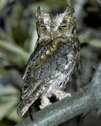 flammulated owl audubon field guide