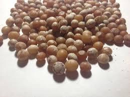 dracaena draco seeds world seed supply