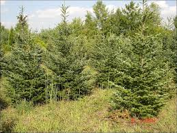 fraser fir tree chester county pa evergreen trees b b fraser fir evergreen trees
