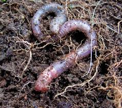 grown up worm hunting why earthworms matter u0026 how to increase
