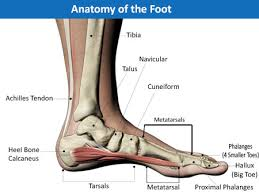 Anatomy Of The Calcaneus Foot Pain U0026 Its Anatomical Distribution Causes Of Foot Pain