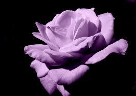 lavender roses lavender roses lavender stem roses 48longstems