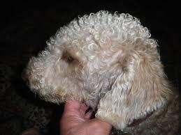 bedlington terrier stud swansea bedlington terrier at stud