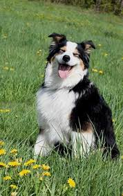 australian shepherd joint problems australian shepherd health issues