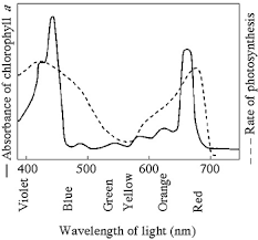 the absorption of light by photosynthetic pigments worksheet answers chapter 7 photosynthesis