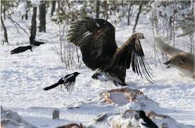 golden eagle attack and kills wolf sense