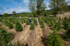 Pacific Northwest Christmas Tree Association - 6 facts about where la gets its christmas trees curbed la