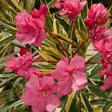 southern living plant collection 3 gal twist of pink oleander