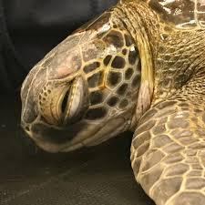 sea turtle care center south carolina aquarium