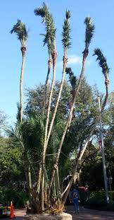 ta tree services llc tree sales palm trees fruit trees