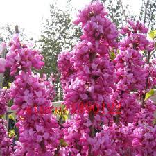 aliexpress com buy 20pcs cercis seeds cercis siliquastrum