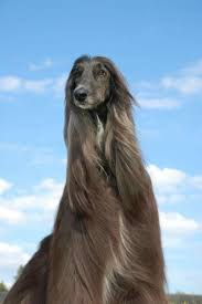 afghan hound tattoo 1252 best afghan hound images on pinterest afghans afghan hound