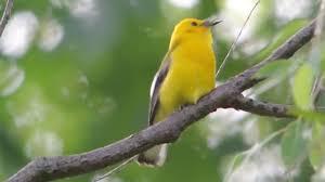 beautiful birds chirping colorful birds flying youtube