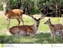 deer family royalty free stock images image 11453209