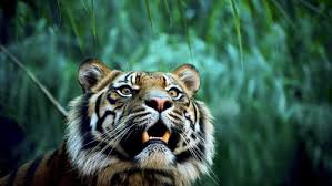 tiger in jungle hd wallpapers hd backgrounds free