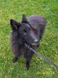 belgian shepherd dog rescue faq belgian sheepdog rescue trust