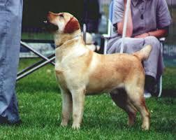 labrador retriever breeder southern california labrador breeders
