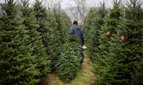 why trees are more expensive this season