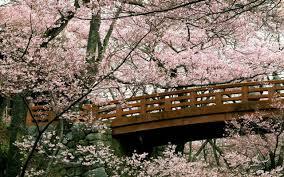 miscellaneous sakura japanese tree spring blossom asia flowers