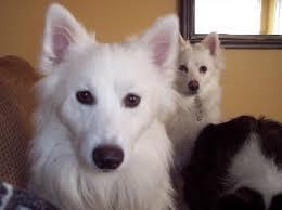 american eskimo dog growling toby u0027s web page