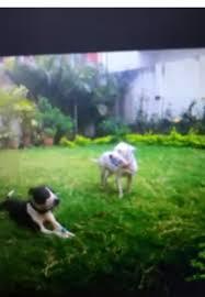 american pitbull terrier in bangalore pitbull puppies for sale bangalore ganga nagar bengaluru adaalo