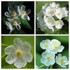 free shipping flowers 200 pcs diphylleia grayi flowers skeleton flower seeds free