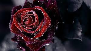 wallpaper flower red rose red rose flower background hd wallpaper of flower hdwallpaper2013 com