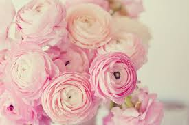 ranunculus bouquet ranunculus photo pink ranunculus shabby chic decor