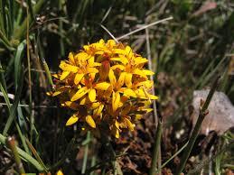 Schoepfiaceae